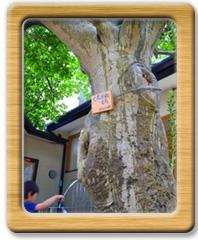シンボルツリーのくろがねもちの木